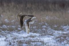 Kestral attac on Owl