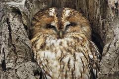 Tawny Owl Christchurch park Ipswich