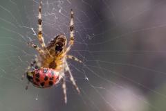 Spider with ladybird