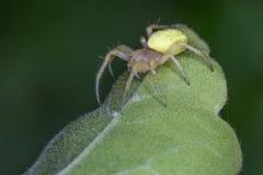 Cucumber-Spider