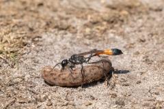 Ichneumonoidea Wasp