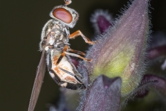 Hoverfly-on-bud