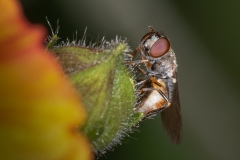 Hoverfly-on-flower