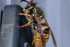 Wasp-on-Door