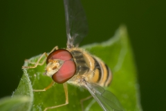 hoverfly-1
