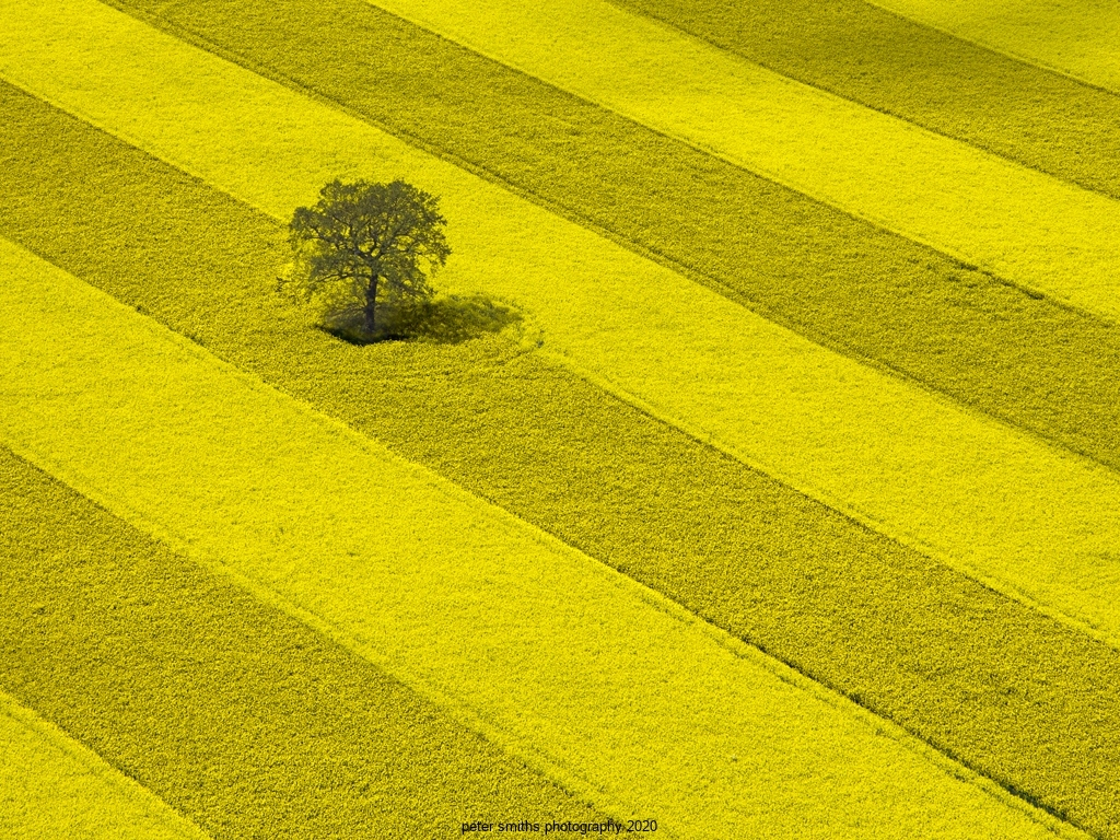 Tree in Rape Field