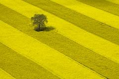 Tree in Rape Field