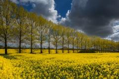 Trees in Rape field