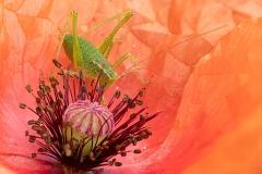 Cricket-on-poppy