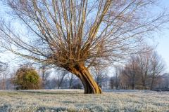 Flatford-willow
